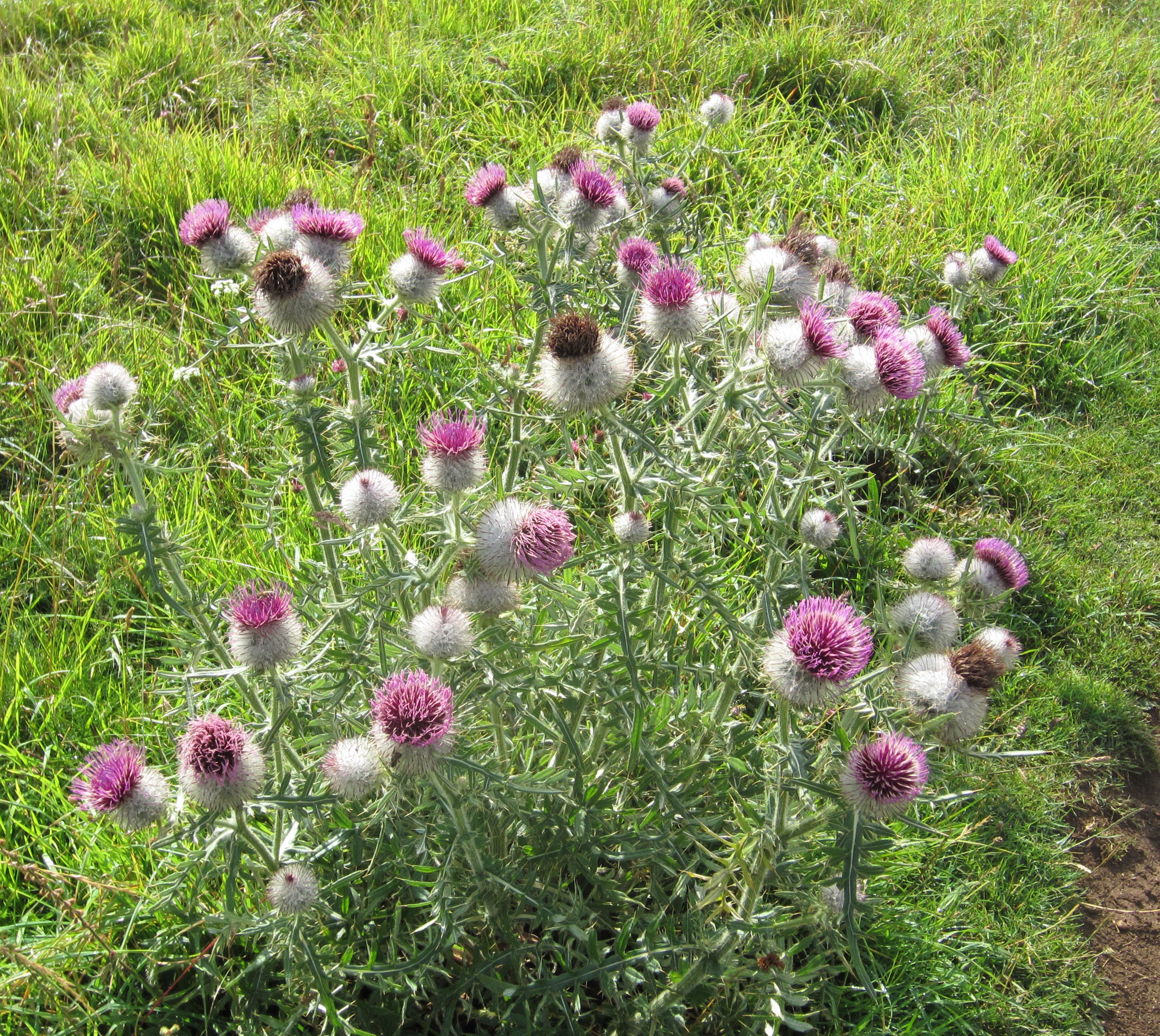 thistles and tall nettles Docks nettles thistles eeds are too tall or too dense, 'shadowing' can occur so, if w again, top them first and spray regrowth after 2-3 weeks.