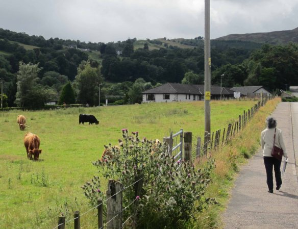 Ignoring the coming-and-going of tourists, cows still graze in the village of Drumnadrochit. That's our B&B at the rear of this photo.
