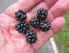 Sweet, juicy blackberries picked and eaten trackside.