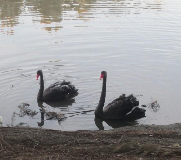 Tuggeranong_Ice_Age_swans