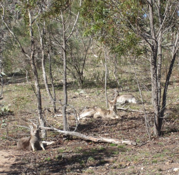 Lake-to-Lake_kangaroos1