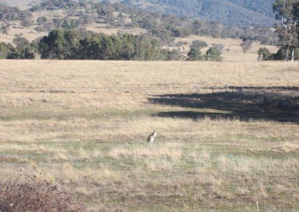 Tracks_kangaroo